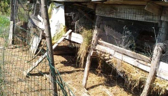Nuova incursione dell'orso in un pollaio